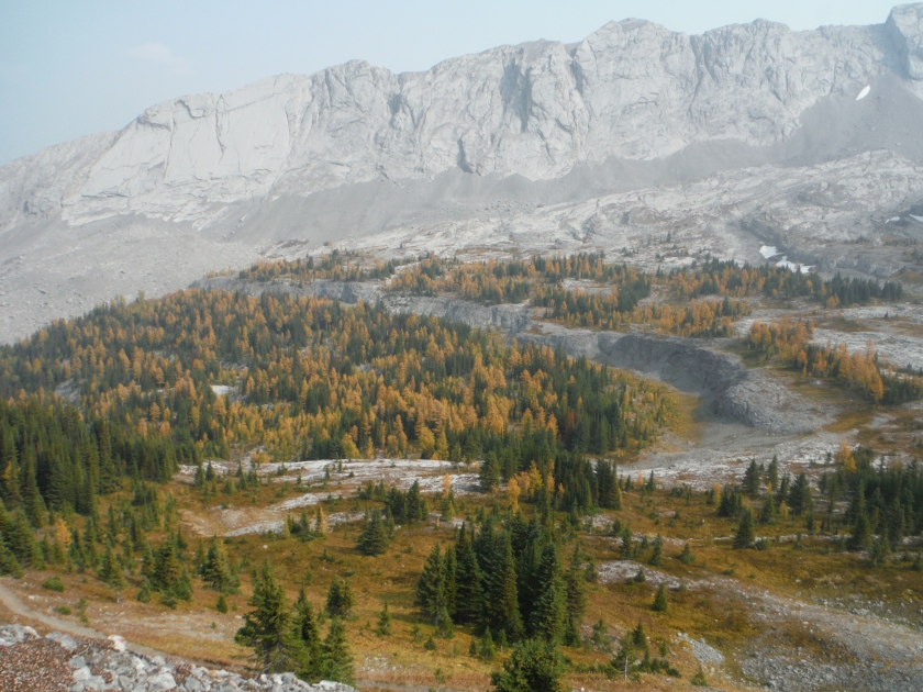 Larches at Burstall Pass